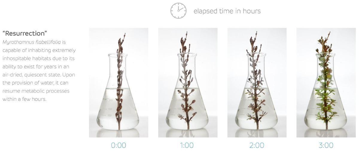 Resurrection plant time lapse.